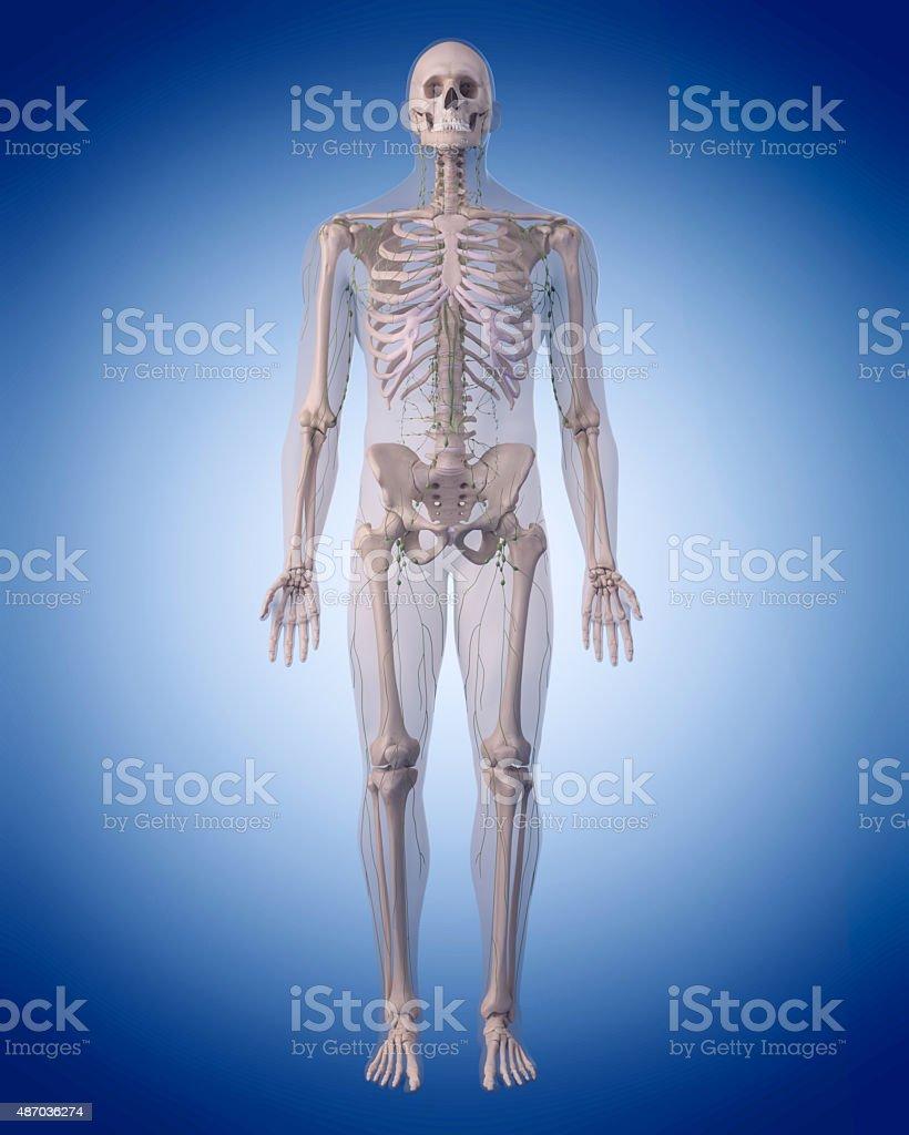 Großartig Funktion Des Lymphsystems Galerie - Menschliche Anatomie ...