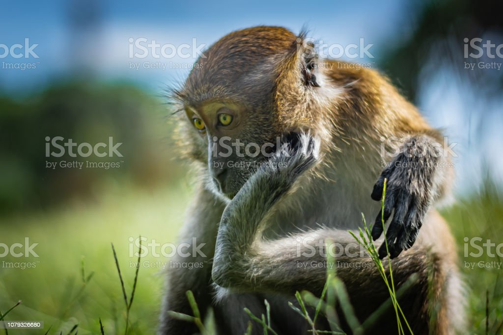 The macaque scratches on the head using the lower limb, the monkey sits on a green grassy meadow, National Park in Thailand – zdjęcie