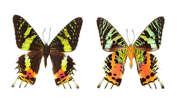 The madagascar sunset moth picture id172779594?b=1&k=6&m=172779594&s=612x612&w=0&h=japhlyrlou0xsvyhrkmlumkw83hhcj33zsnbmsj44kq=