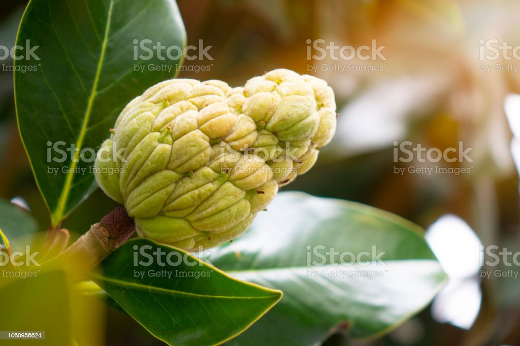 The Magnolia Tree Exhibits Seed Pods Or Cones Or Fruit Stock Photo