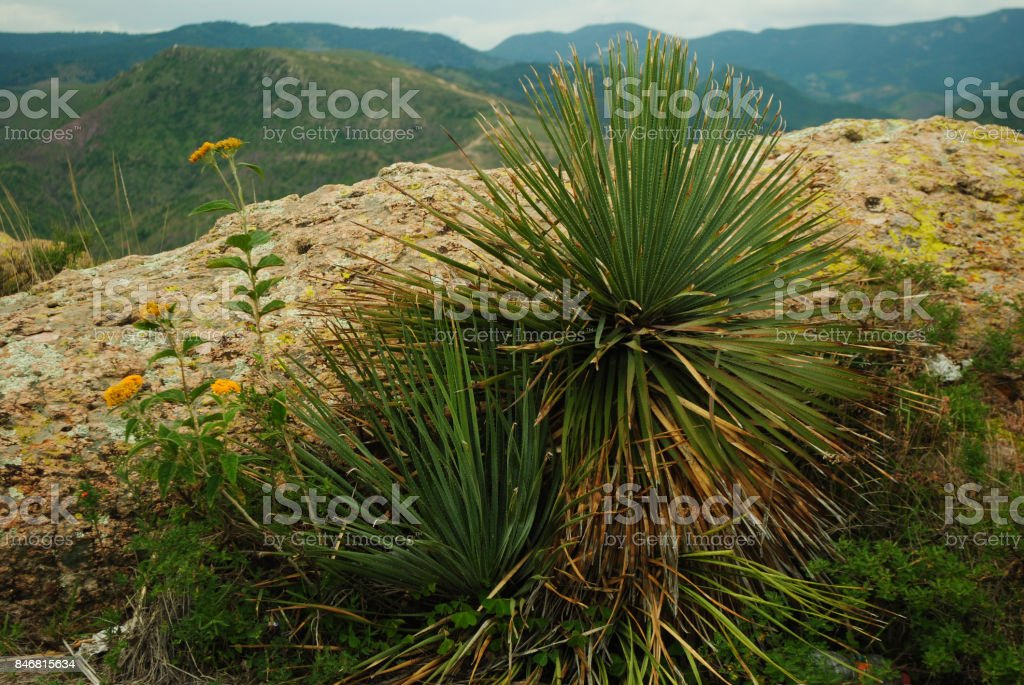 The Magueyes