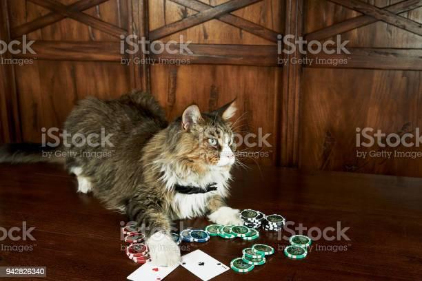 The maine coon cat plays poker picture id942826340?b=1&k=6&m=942826340&s=612x612&h=qlq96 5ezrnrmoxnlub4w1j7sln1ixg7pku5tnnjqxk=