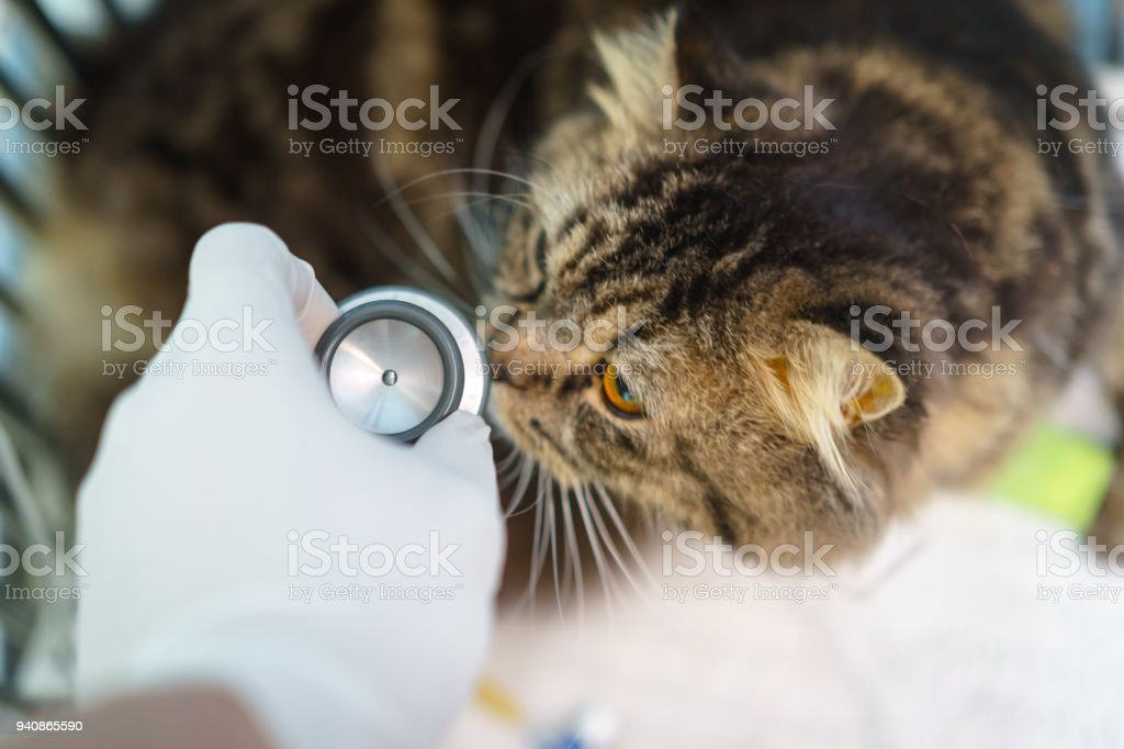 The Maine coon cat 'u2018s checkered lung and heart sound by doctors with stethoscope. The dog 's treated by Intravenous fluid therapy, supportive therapy in cage. Veterinary medicine concept. stock photo