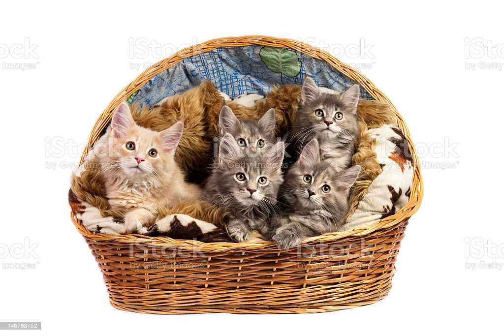 The Maine coon kittens royalty-free stock photo