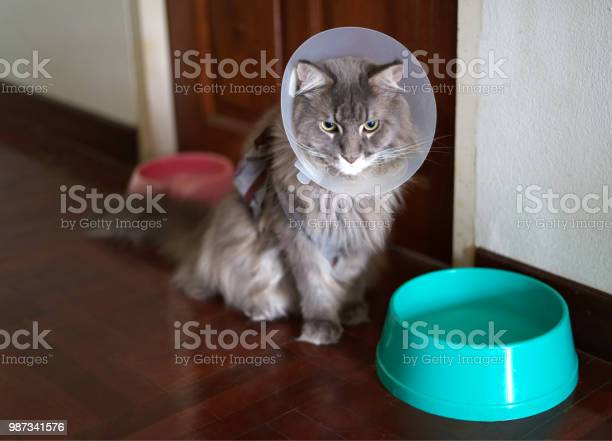 The mainecoon cat wearing cone collar for protection himself from picture id987341576?b=1&k=6&m=987341576&s=612x612&h=hrb ysytqoggxw5zanoji qmmjeoph29aj4hhw3gbz4=