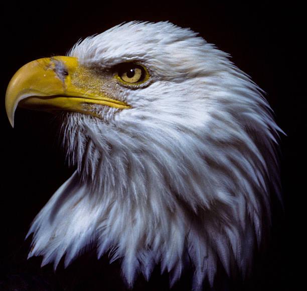 Majestic Bald Eagle stock photo