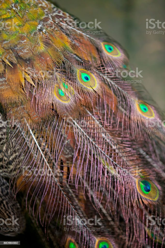 The majestic peacock stock photo