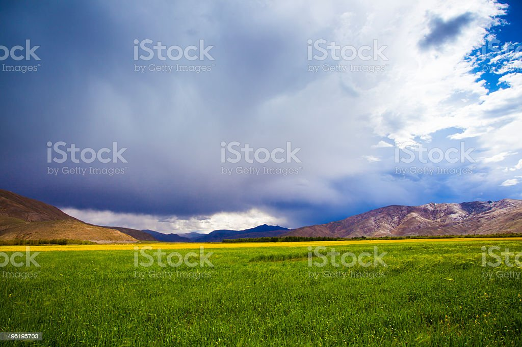 the major crop in Tibet,China. stock photo