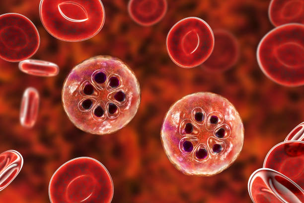The malaria-infected red blood cell stock photo