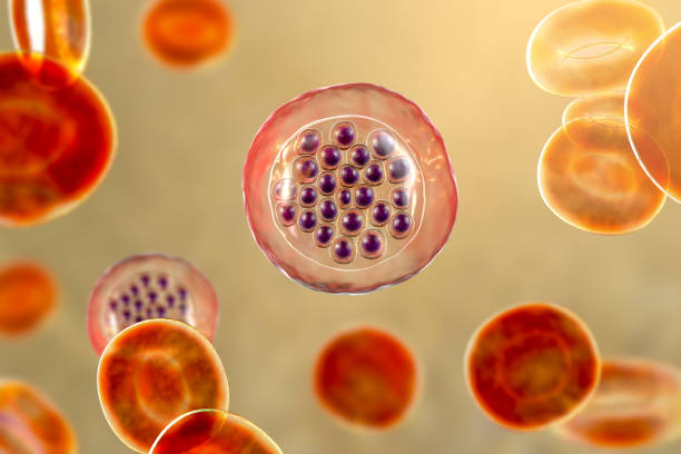 The malaria-infected red blood cells stock photo