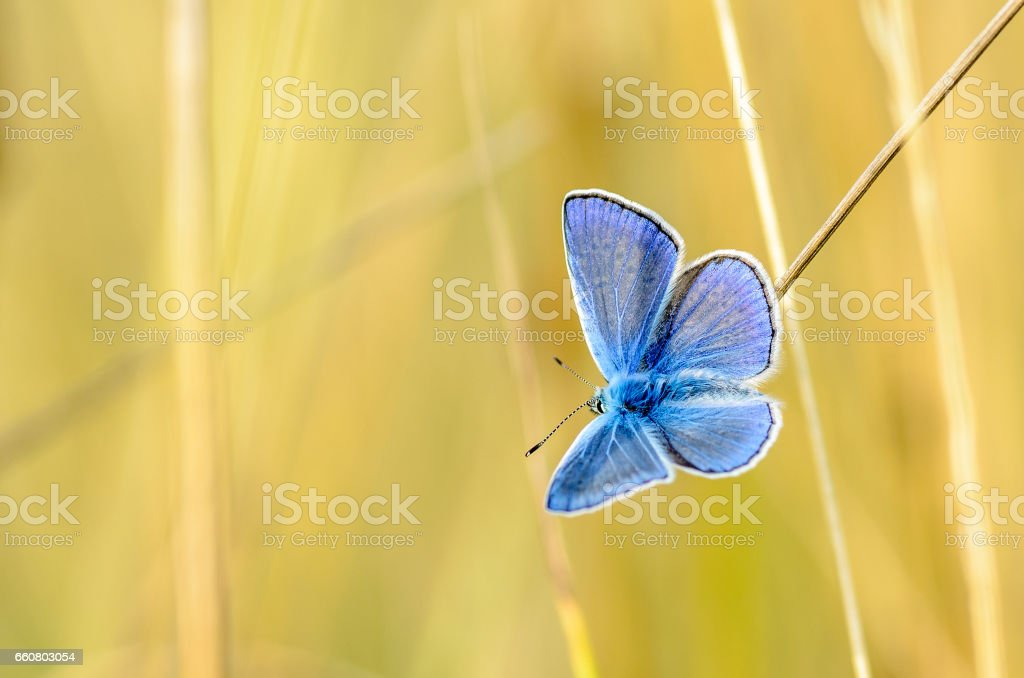 The male butterfly with blue wings stock photo