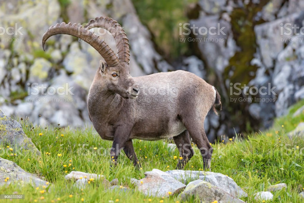 the male ibex in the Alps stock photo