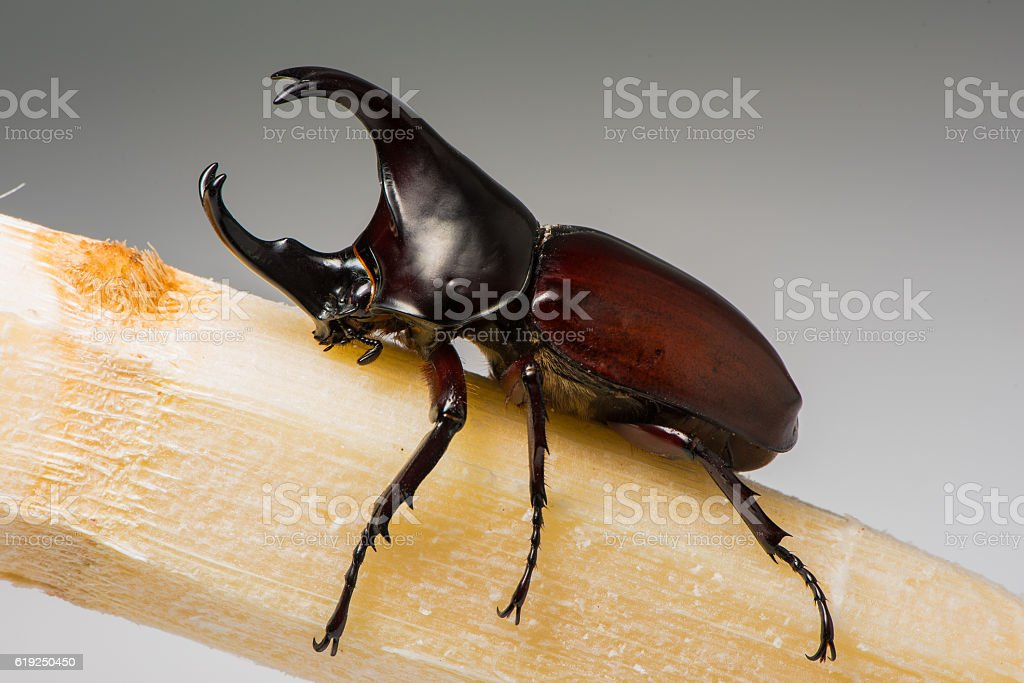 The Male Rhinoceros Beetle Sit On The Sugarcane Stock Photo