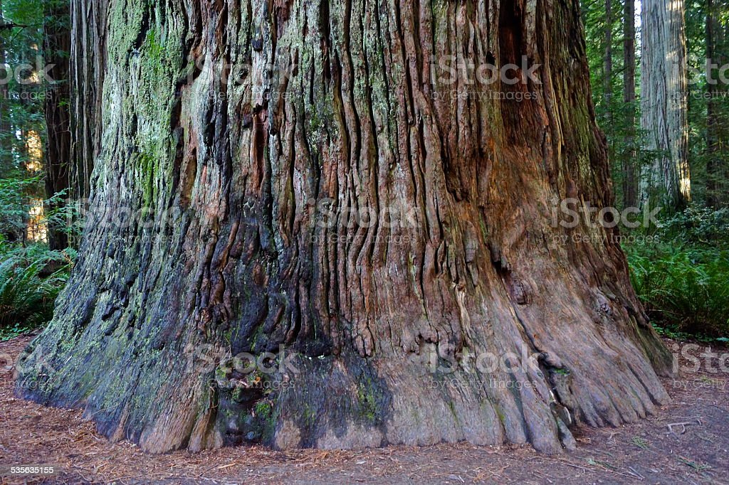 The Mammoth Stout Tree stock photo