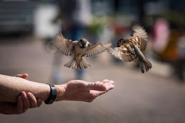 the man feeding birds stock photo