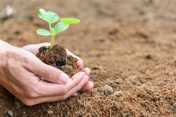The man Plant The Sapling to soil stock photo