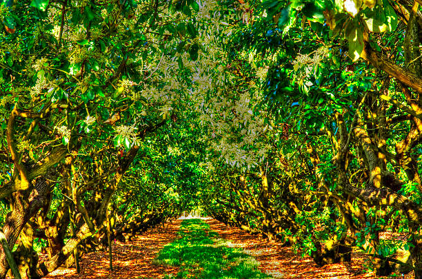 The Mango Grove stock photo