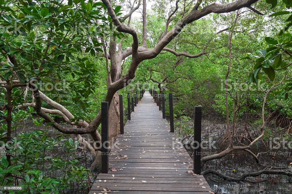 The mangrove forest stock photo