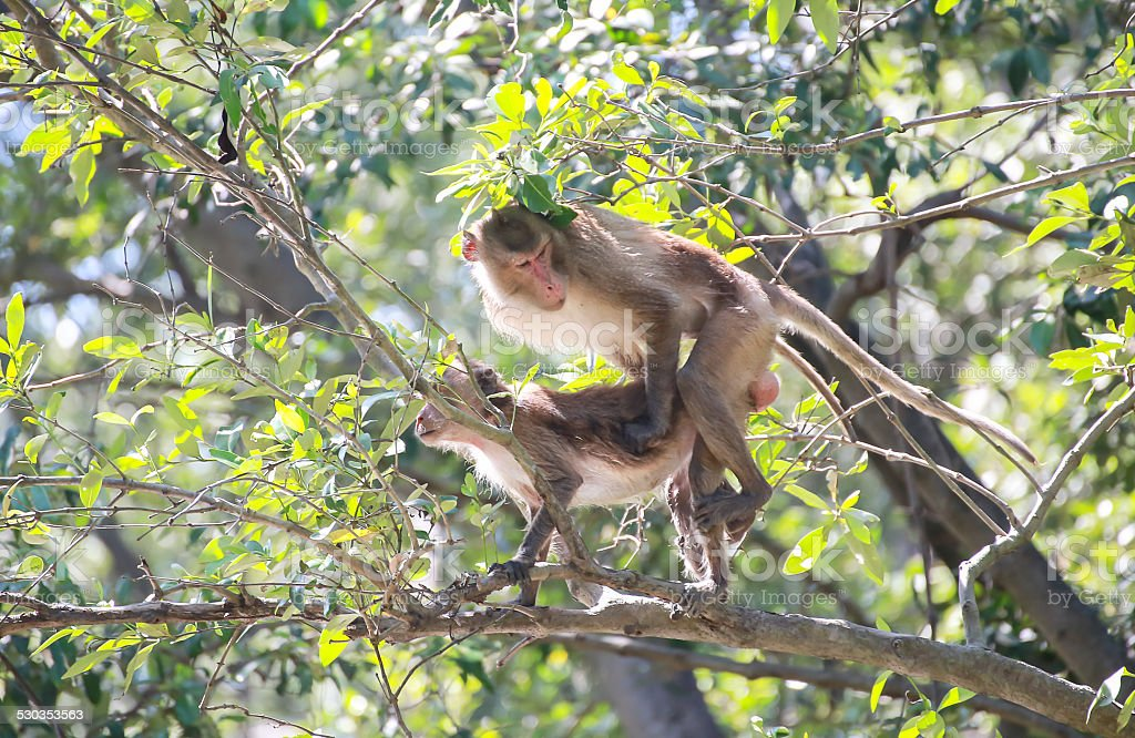 The mangrove monkey mating on a limb stock photo