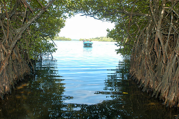 The mangroves of Bentota in Sri Lanka stock photo