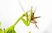 Green adult female Mantis religiosa portrait in blue background.