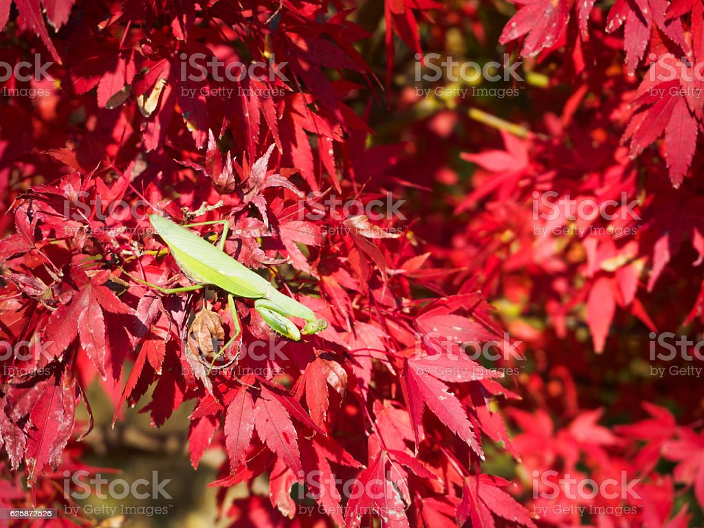 The mantis which perches on a maple ストックフォト