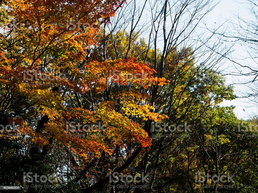 The maple which has begun to change color ストックフォト