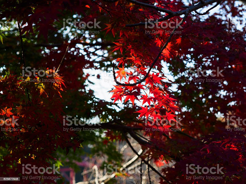 The maple which shines in sunshine filtering through foliage ストックフォト