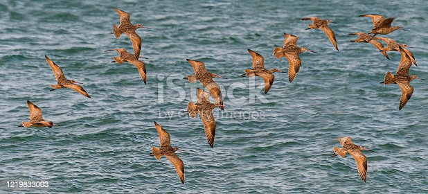 The Marbled Godwit, Limosa fedoa, is a large shorebird. Adults have long blue-grey legs and a very long pink bill with a slight upward curve and dark at the tip.  San Ignacio Lagoon, Baja, Mexico