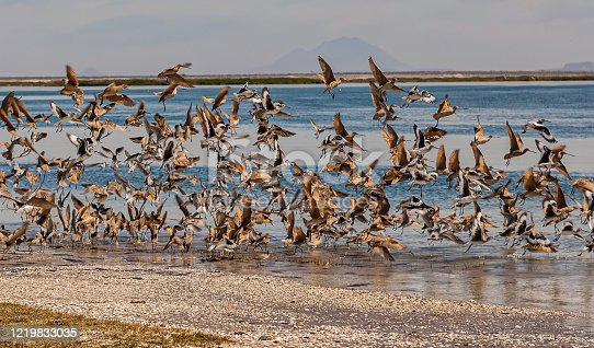 The Marbled Godwit, Limosa fedoa, is a large shorebird. Adults have long blue-grey legs and a very long pink bill with a slight upward curve and dark at the tip. The Willet, Tringa semipalmata inornata.  San Ignacio Lagoon, Baja, Mexico
