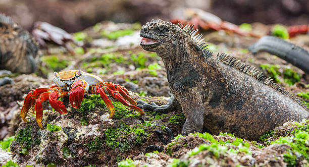 The Marine Iguana stock photo