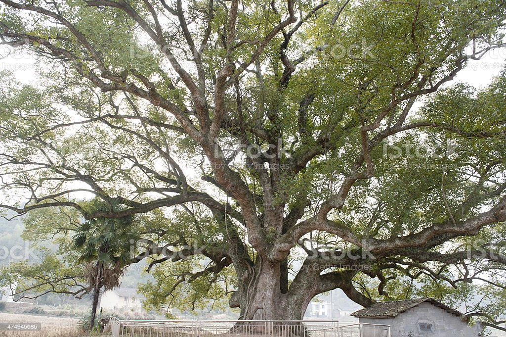 the  massive 1000-year old  camphor tree stock photo