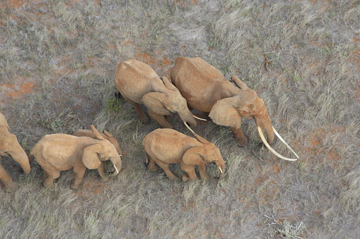 Aerial view - a large matriarch with long tusks leads her family across dry Africa grassland