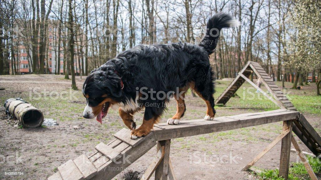 la jolie femme mature, dog trainer, enseigner le Bouvier Bernois de marcher sur la poutre. - Photo