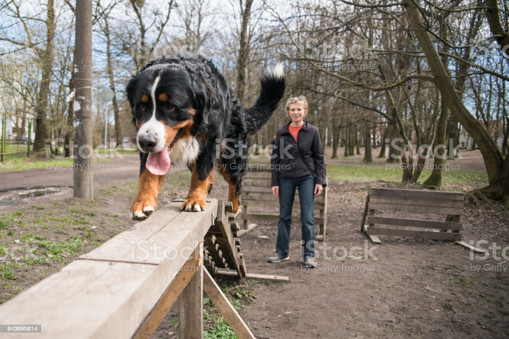 the mature attractive woman, dog trainer, teaching the Bernese Mountain Dog to walk on the beam. stock photo