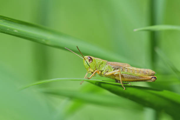 The meadow grasshopper crawling on green leaf macro photo stock photo