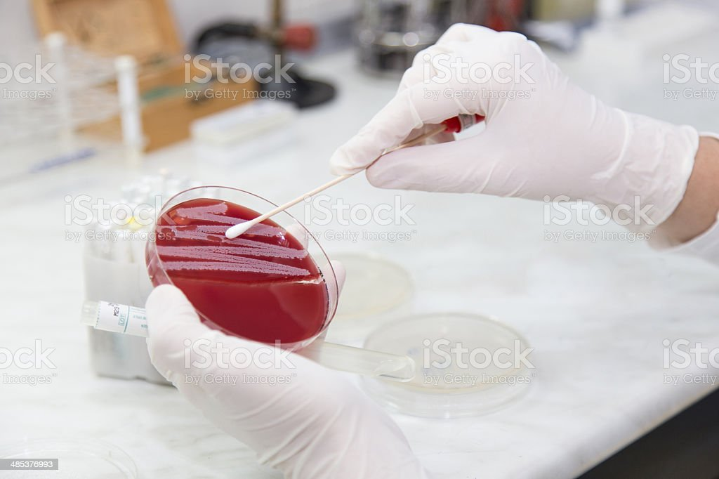 The Medical Microbiology Laboratory. Bacterial colonies stock photo