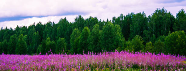 The medicinal plant fireweed (Ivan-tea) grows in the meadow against the background of the northern taiga and the blue cloudy sky. Healthy lifestyle. Tourist destination stock photo
