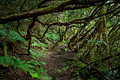 The Mercedes Forest -  ancient Tropical forest on Tenerife. A wide variety of species with abundant undergrowth of bushes, herbaceous plants, and ferns. Laurels, holly (Ilex canariensis), ebony (Persea indica), mahogany (Apollonias barbujana).