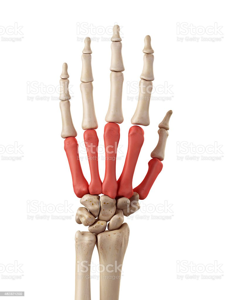 numbered metacarpals bone - HD768×1024