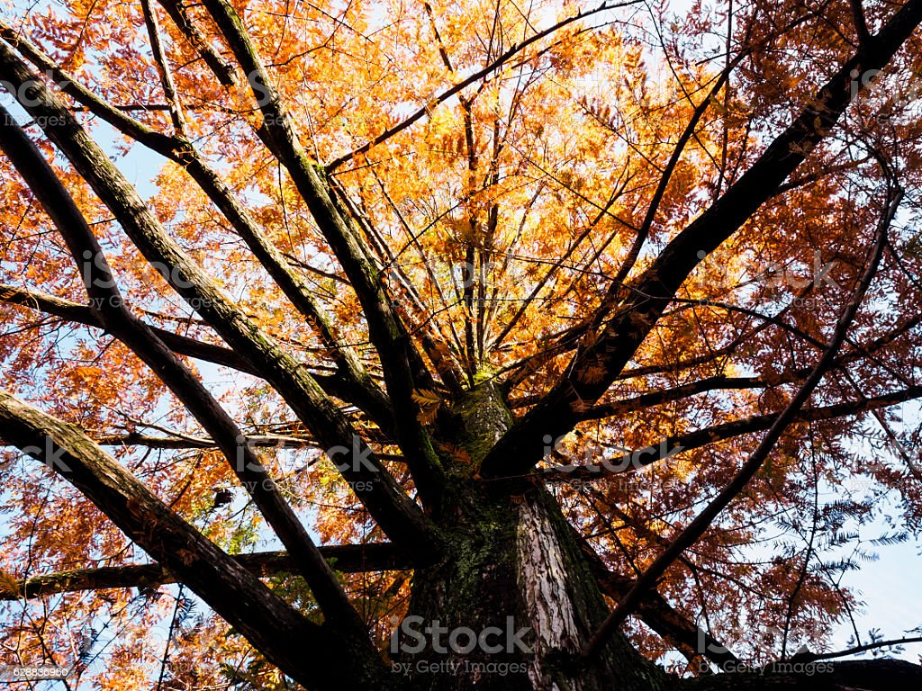 The metasequoia which turned red ストックフォト