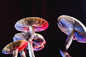 The Mexican magic mushroom is a psilocybe cubensis, a specie of psychedelic mushroom whose main active elements are psilocybin and psilocin - Mexican Psilocybe Cubensis. An adult mushroom raining spores. red and blue color. horizontal orientation