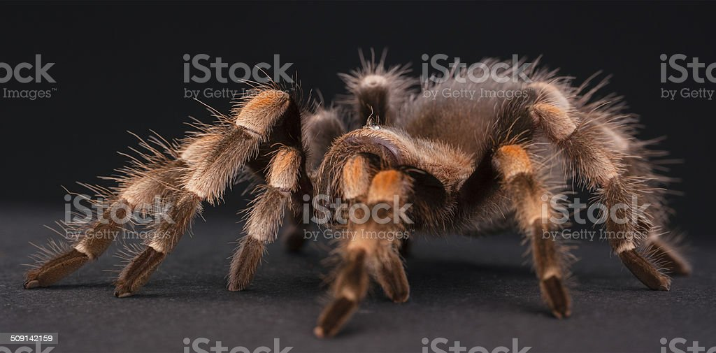 The Mexican Red-Kneed stock photo