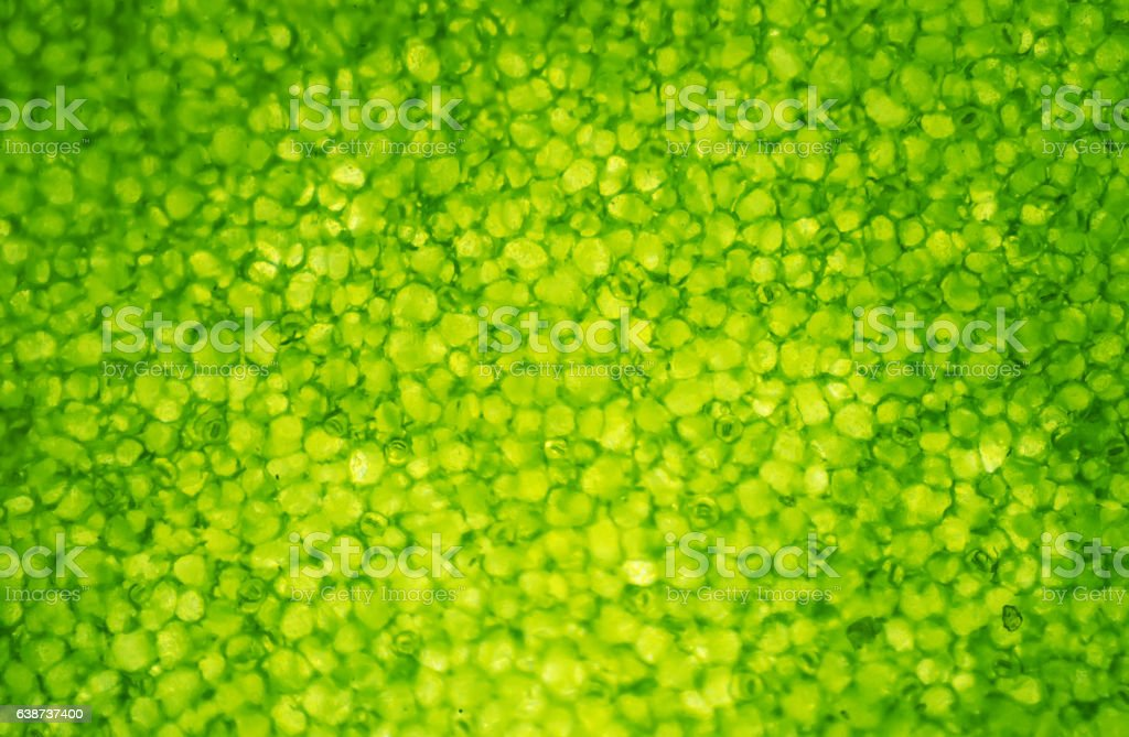 The Microscopic World. Leaf cells under microscope. stock photo