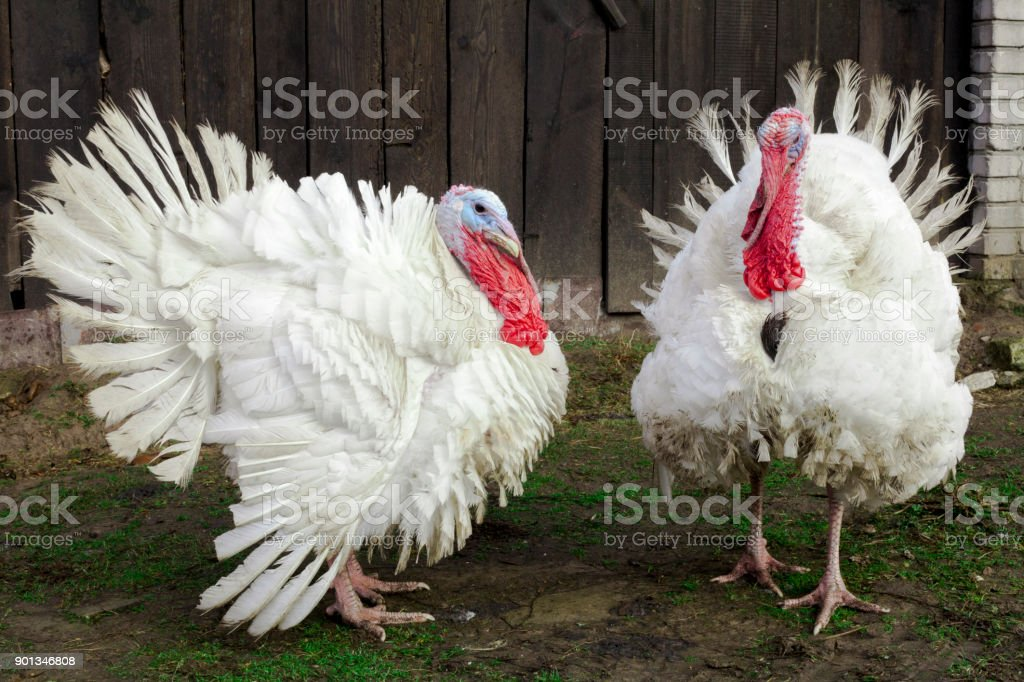 The Midget White Turkey Perfect Homestead. big fat turkey in the farm yard with purebred stock photo