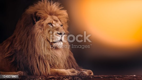 istock The mighty lion lies at sunset. African lion. 1243279901