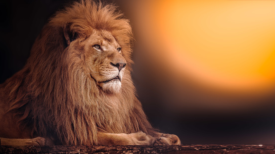 The mighty lion lies at sunset. The male lion.