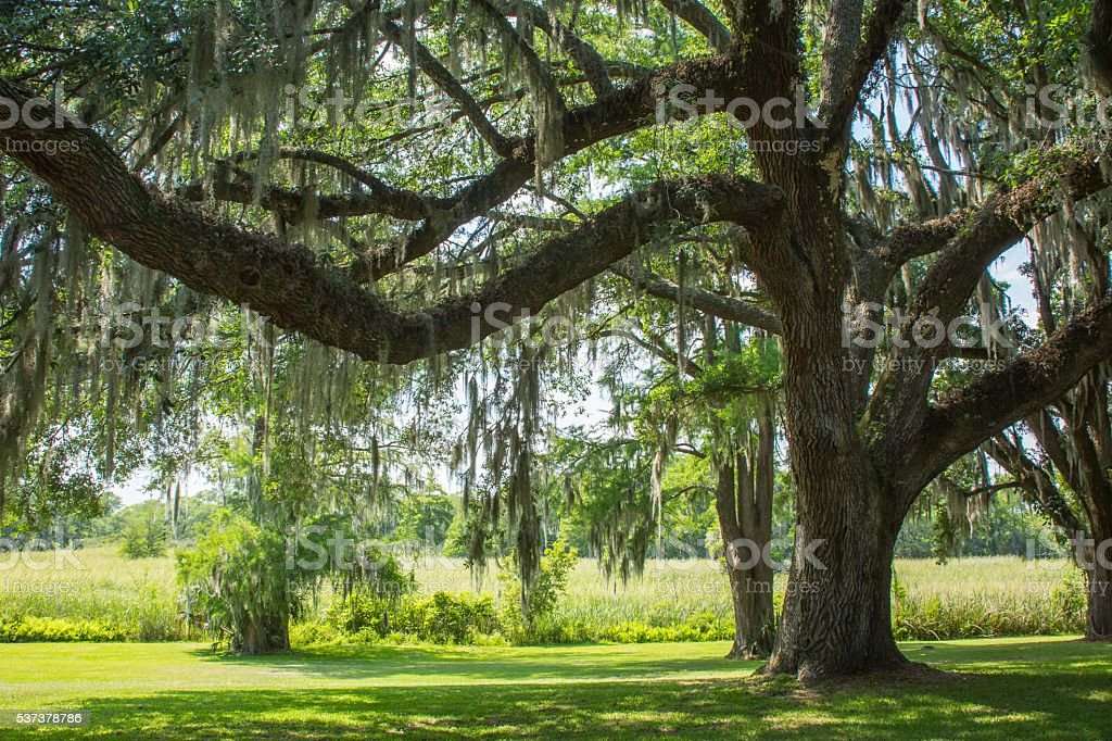The Live Oak trees of the southern states are large and stately. With...