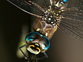 Close up of The Migrant Hawker (Aeshna mixta) on branch in Poland.