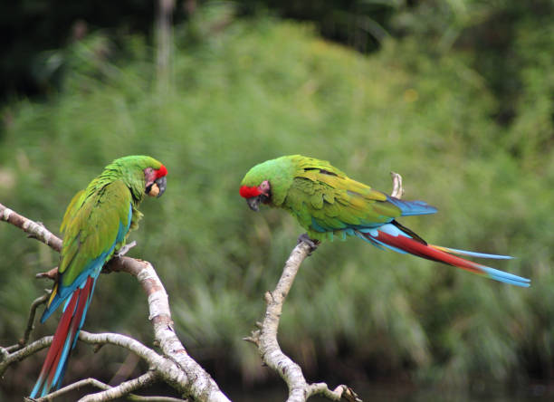 the military macaw (ara militaris) - green winged macaw stock photos and pictures